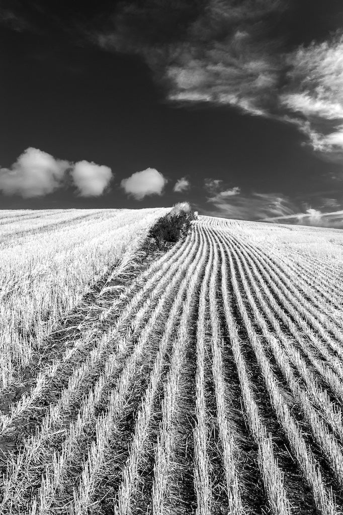 Palouse Wheat Field #1