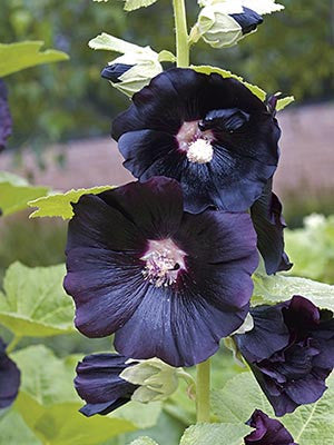 Alcea 'Ebony Towers'