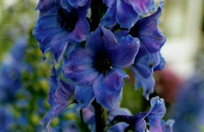 Delphinium 'Black Knight Pacific Giant'
