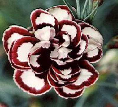 Dianthus 'Dad's Favourite'