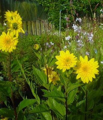 Heliopsis Scabra Perennial Double Sunflower 3/24.00