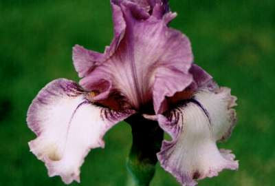 Iris Bearded Tall Mixture Potted