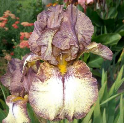 Iris Bearded Tall Burgundy Brown Potted