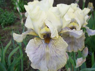 Iris Bearded Tall Green And Gifted Potted