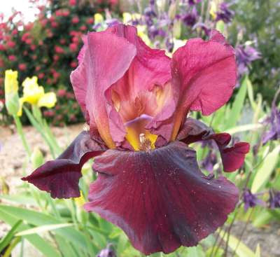 Iris Bearded Tall Jewel Tone Potted