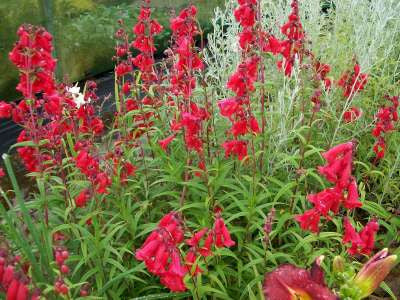 Penstemon Bright Red 3/$27.00