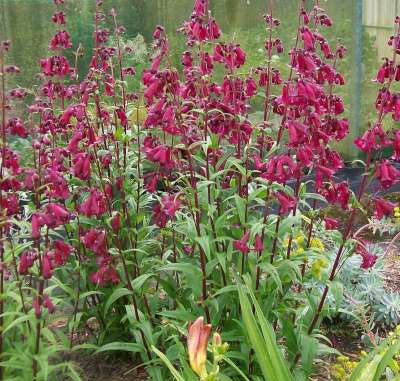 Penstemon Port Wine 3/$27.00 Large Wine Trumpets