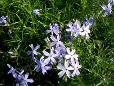 Phlox Subulata Oakington Blue Eyes 3/21.00 Groundcover