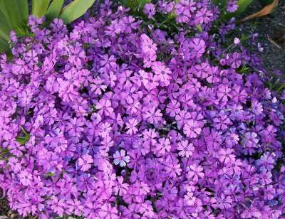 Phlox subulata 'Greencourt Violet