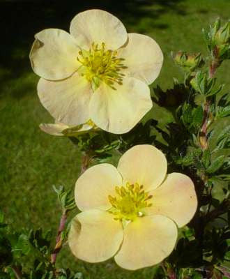 Potentilla 'Peaches and Cream'