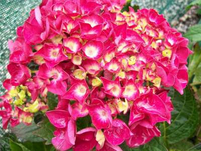Hydrangea Merville Sanguine Syn Raspberry Crush And Bloody Marvellous 3/$28.50