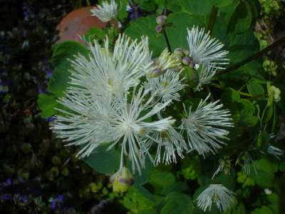 Thalictrum Aquilegiifolium Mixed Very Pretty Flowers And Foliage 3/$27.00