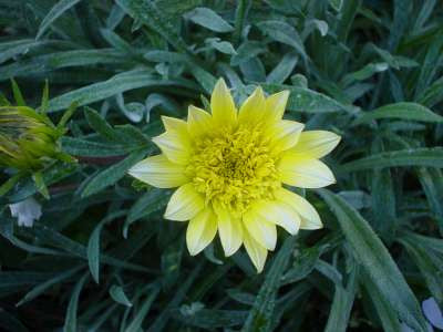 Gazania 'Lemon Star'
