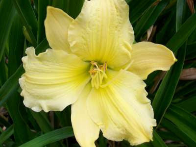 Hemerocallis 'Evening Bell'