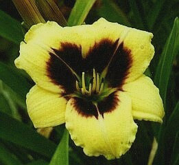 Hemerocallis 'Little Gypsy Vagabond'