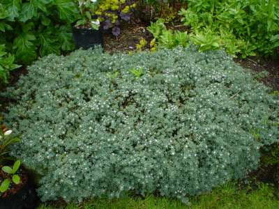 Pimelia Prostrata Native Perennial - Low Maintenance 3/$27.00