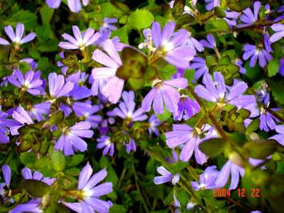 Scaevola Mauve Clusters 3/$24.00 Purple Flowering Evergreen Groundcover