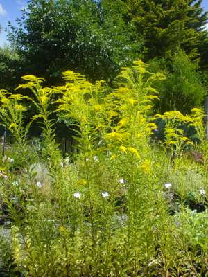 Solidago 'Golden Rod'