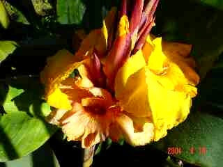 Canna 'King City Gold'