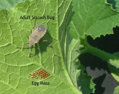 How To Spot And Care For Squash Bugs On My Squash Plants