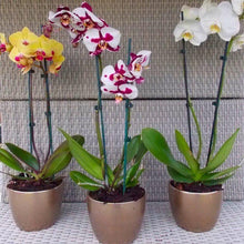 Load image into Gallery viewer, Phalenopsis Orchid