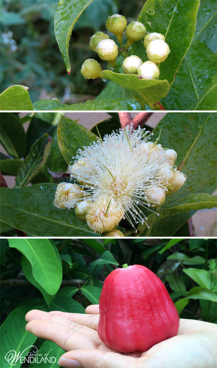 Jambu Flowers
