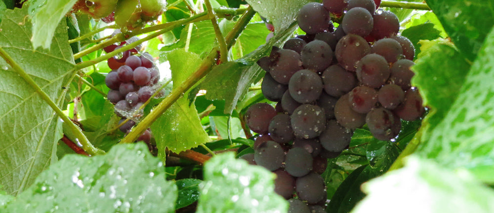 Organic Grapes On The Vine