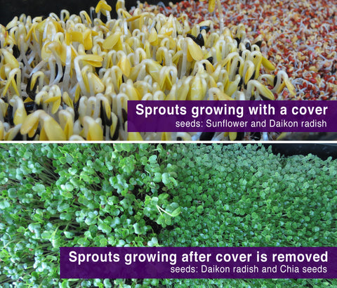Sprouts Grown With and Without Sun Comparisons