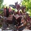 Ludisia Jewel Orchid Exotic House Plant