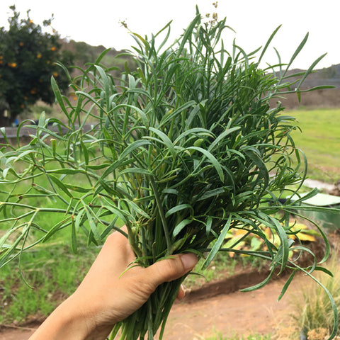 Rock Samphire Plant Seeds *Rare*