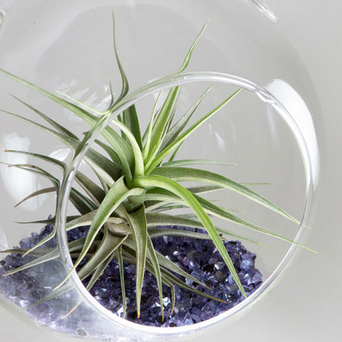 Air Plant in the Shimmering Dome (Purple)