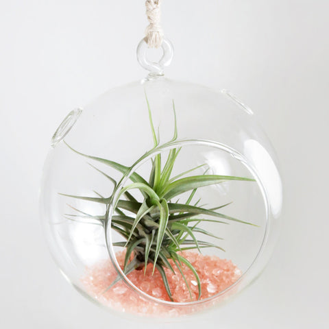Air Plant in the Shimmering Dome (Pink)