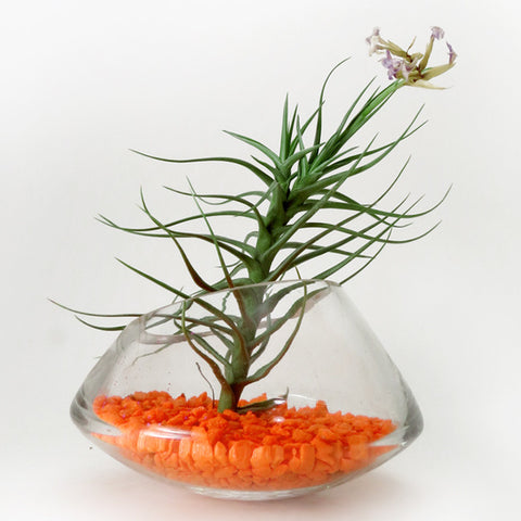 Air Plant Rocking Terrarium -- Discounted!