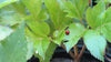 "SALE! 2 Ashitaba AKA ""Tomorrow Leaf"" Plants"