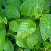 Small Gynura Procumbens / Ashitaba ( Longevity Plant for Diabetes and High-Cholesterol )
