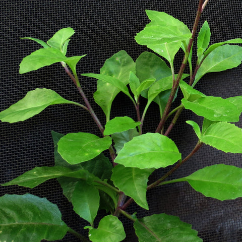 Large Gynura Procumbens / Ashitaba ( Longevity Plant for Diabetes and High-Cholesterol )