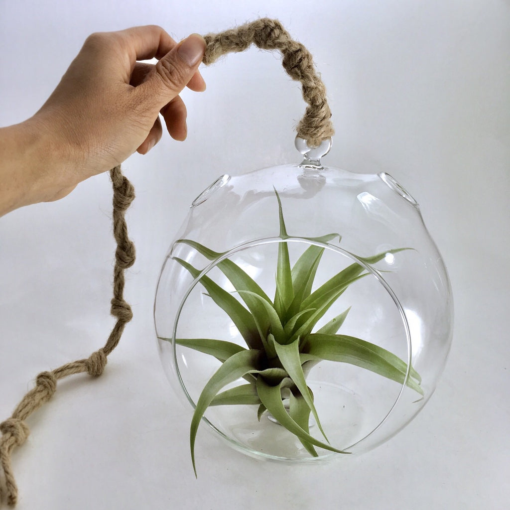 Air Plant In Giant Dome