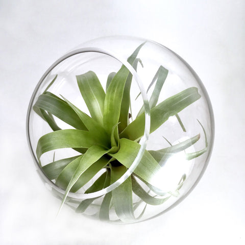 Large Air Plant In A Globe