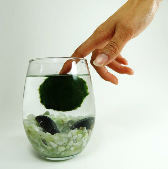 Marimo in the Oval Home