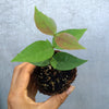 Black Surinam Cherry Seedling