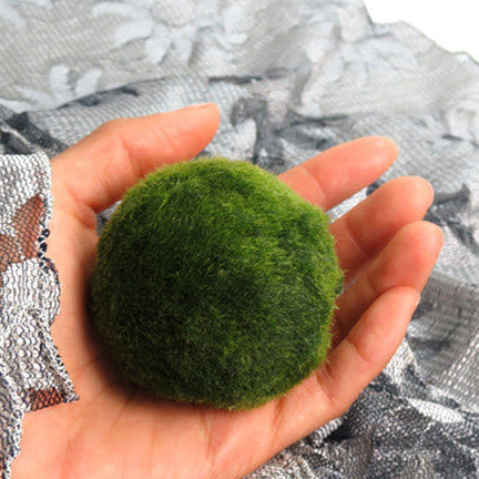 DISCOUNTED!!  XL Marimo For Your Own Aquarium