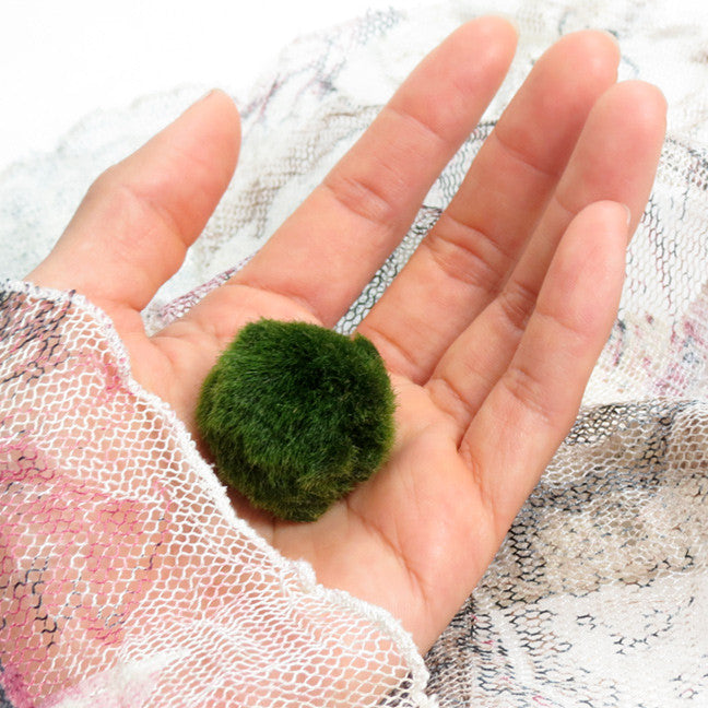 Junior Marimo For Your Own Aquarium