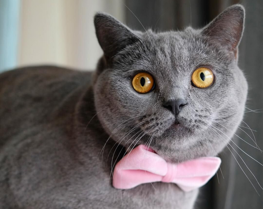 "Pet Bow Tie - ""Pink Velvet"" - Baby Pink Soft Velvet - Wedding/Special Occasion - Detachable Bowtie for Cats + Dogs"