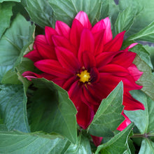 Load image into Gallery viewer, Hypnotica Dahlia