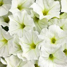Load image into Gallery viewer, Supertunia Petunia