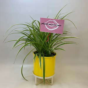 Canary Pot x Spider Plant for Valentine's Day