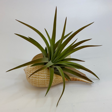 Load image into Gallery viewer, Tillandsia (Air Plant) in Sea Shell