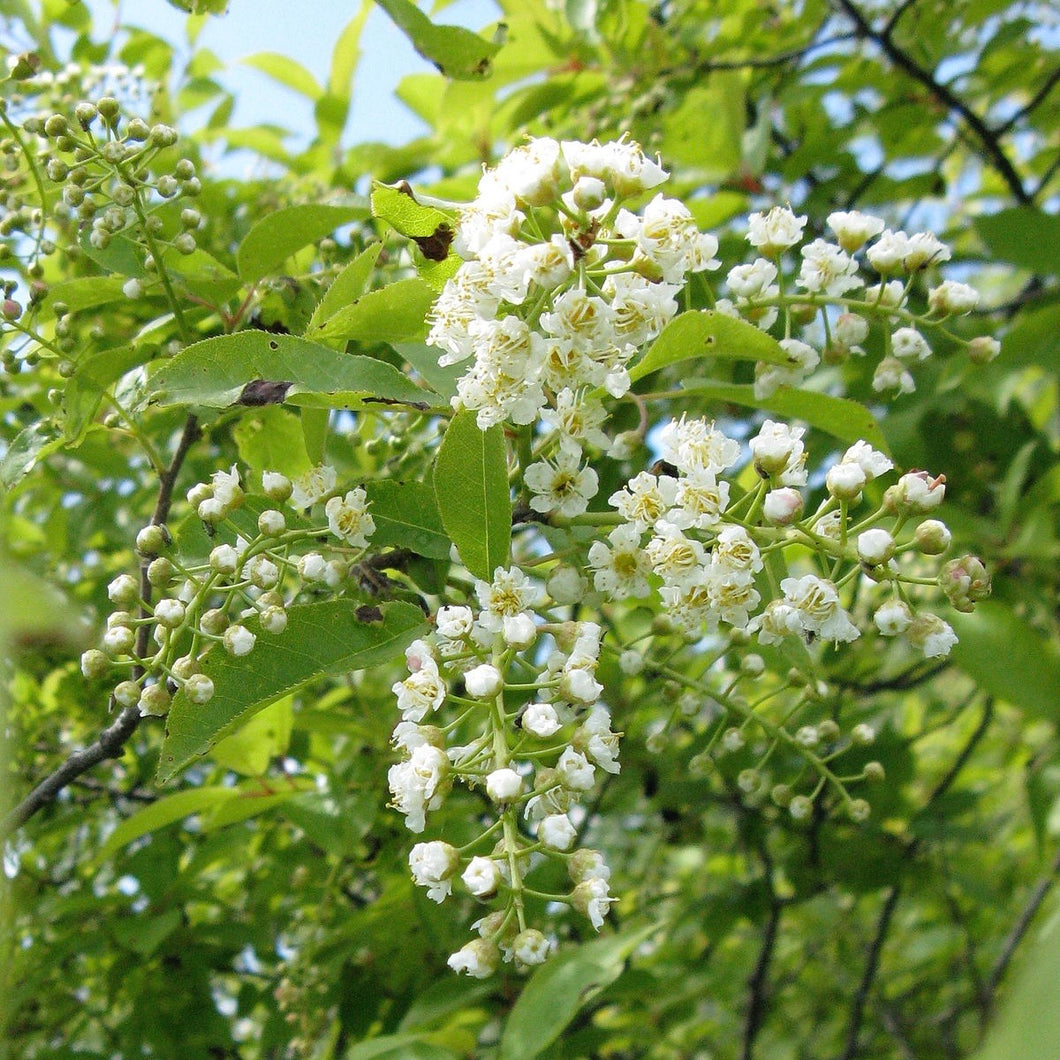 Common Chokecherry