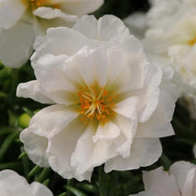 Load image into Gallery viewer, Portulaca