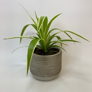 Spider Plant x Ruffle Pot